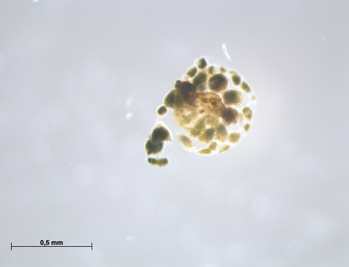 Decalcification trials on living forams at Naturalis